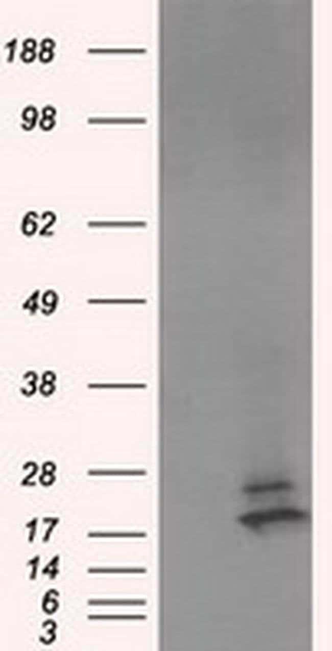 NME4 Mouse anti-Human, Clone: OTI3B7, liquid, TrueMAB  100 µL; Unconjugated