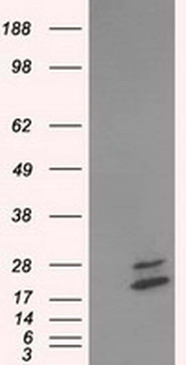 NME4 Mouse anti-Human, Clone: OTI4E8, liquid, TrueMAB  100 µL; Unconjugated