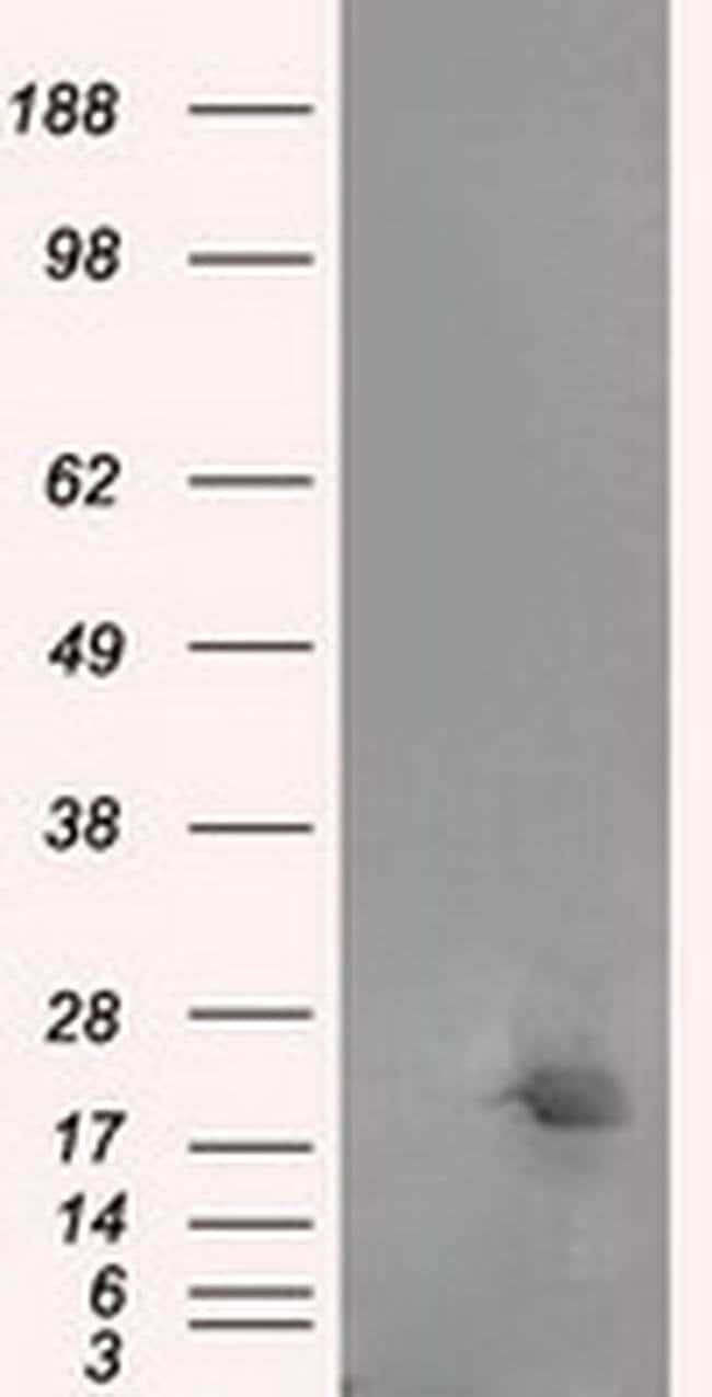 NME4 Mouse anti-Human, Clone: OTI1E3, liquid, TrueMAB  100 µL; Unconjugated