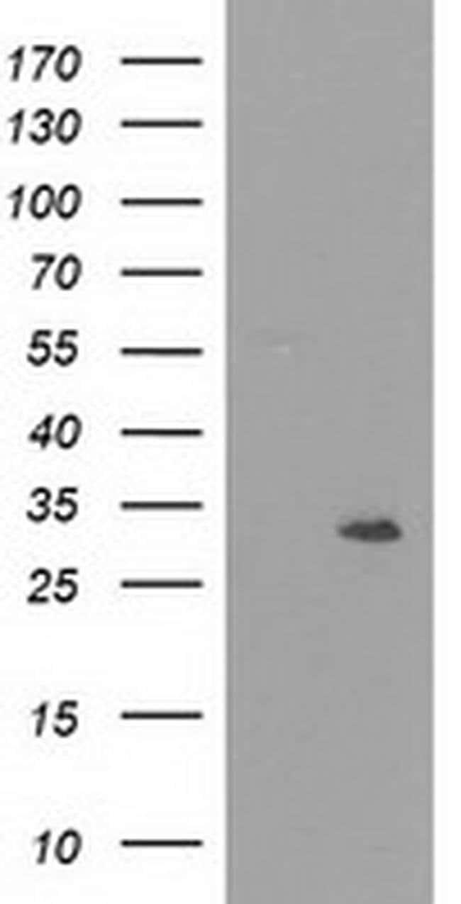 NMNAT1 Mouse anti-Human, Clone: OTI1F7, liquid, TrueMAB  100 µL; Unconjugated