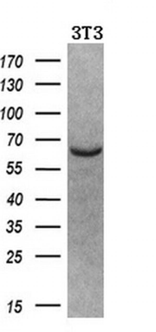 NPR3 Mouse anti-Human, Clone: OTI4H1, liquid, TrueMAB  100 µL; Unconjugated