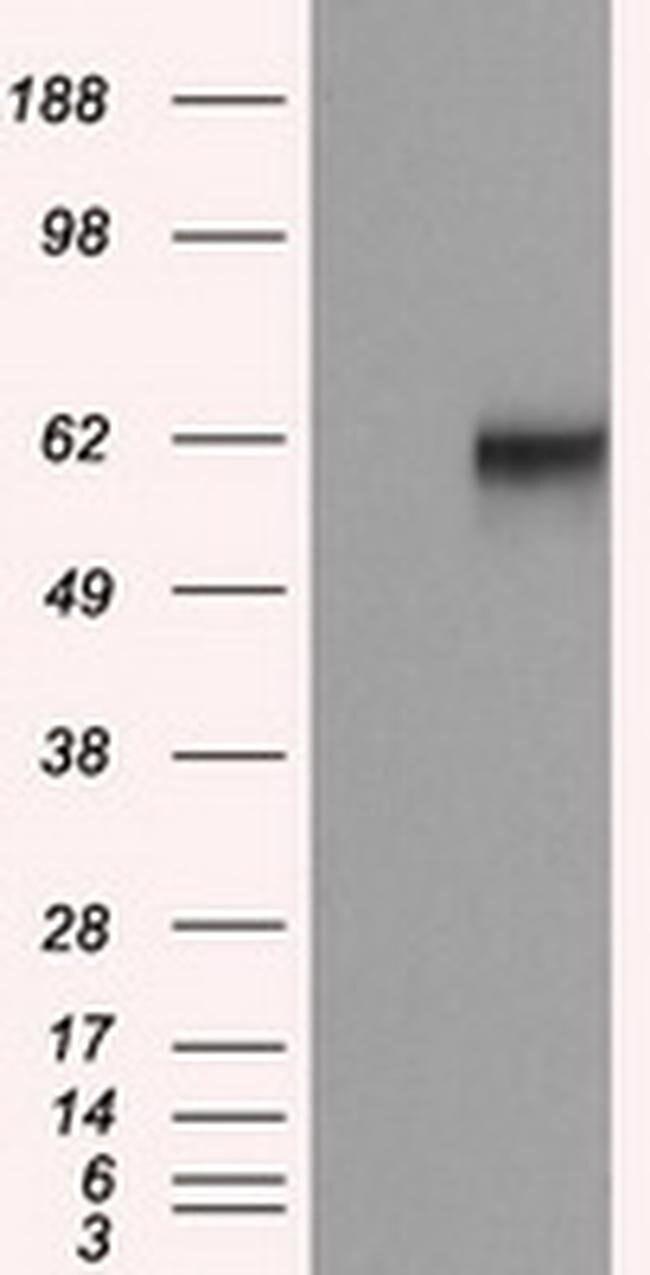 NPR3 Mouse anti-Human, Clone: OTI11H5, liquid, TrueMAB  100 µL; Unconjugated