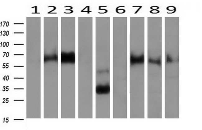 NPTN Mouse anti-Canine, Human, Rat, Clone: OTI3C4, liquid, TrueMAB  100