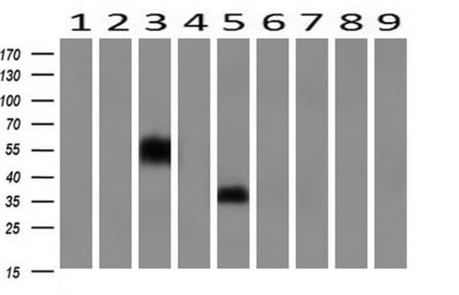 NPTN Mouse anti-Canine, Human, Mouse, Clone: OTI2D4, liquid, TrueMAB  100