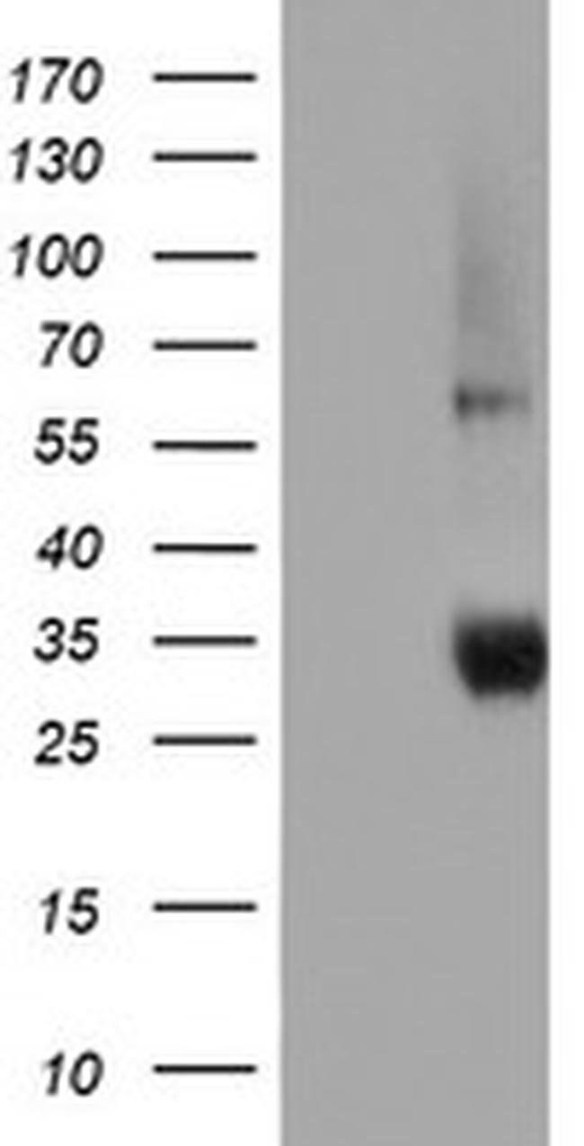 NPTN Mouse anti-Human, Clone: OTI2F5, liquid, TrueMAB  100 µL; Unconjugated