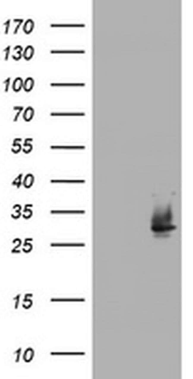 NQO2 Mouse anti-Canine, Human, Clone: OTI3C11, liquid, TrueMAB  100 µL;