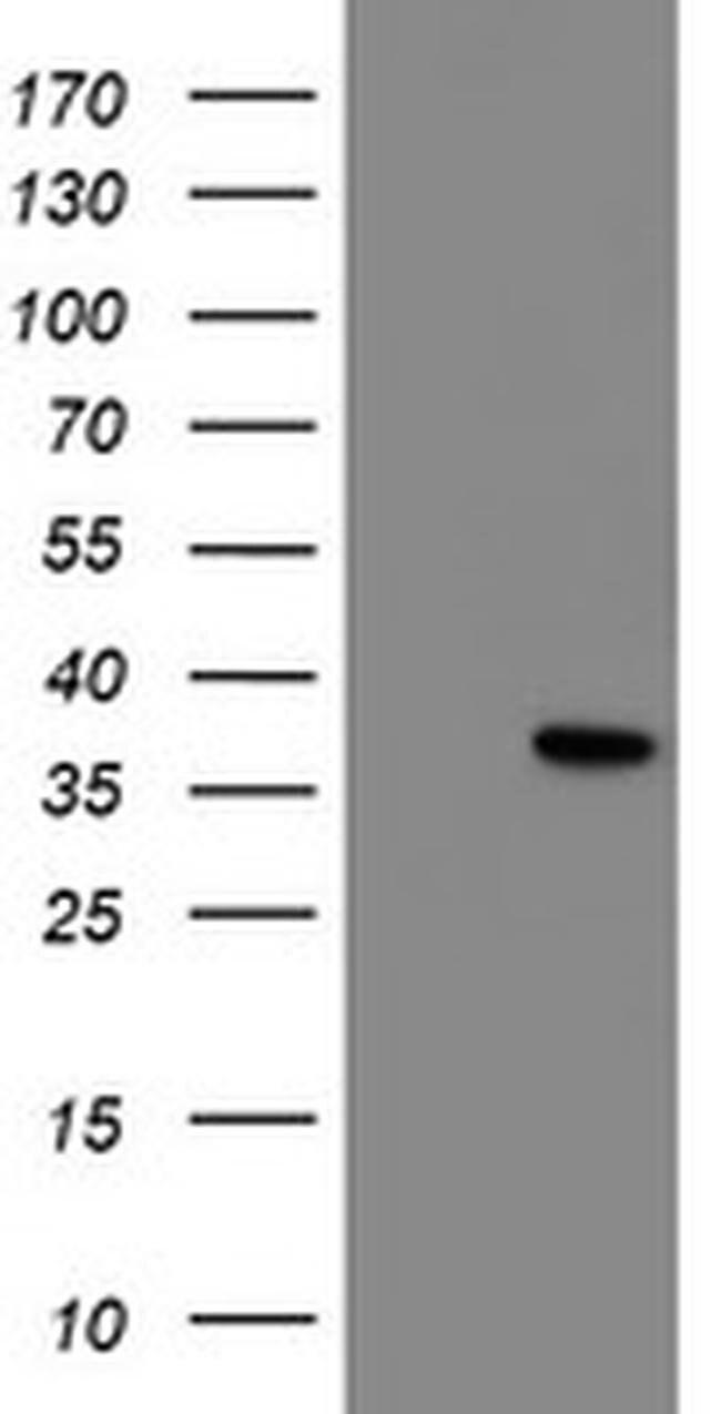NRIP3 Mouse anti-Human, Clone: OTI1G6, liquid, TrueMAB  100 µL; Unconjugated