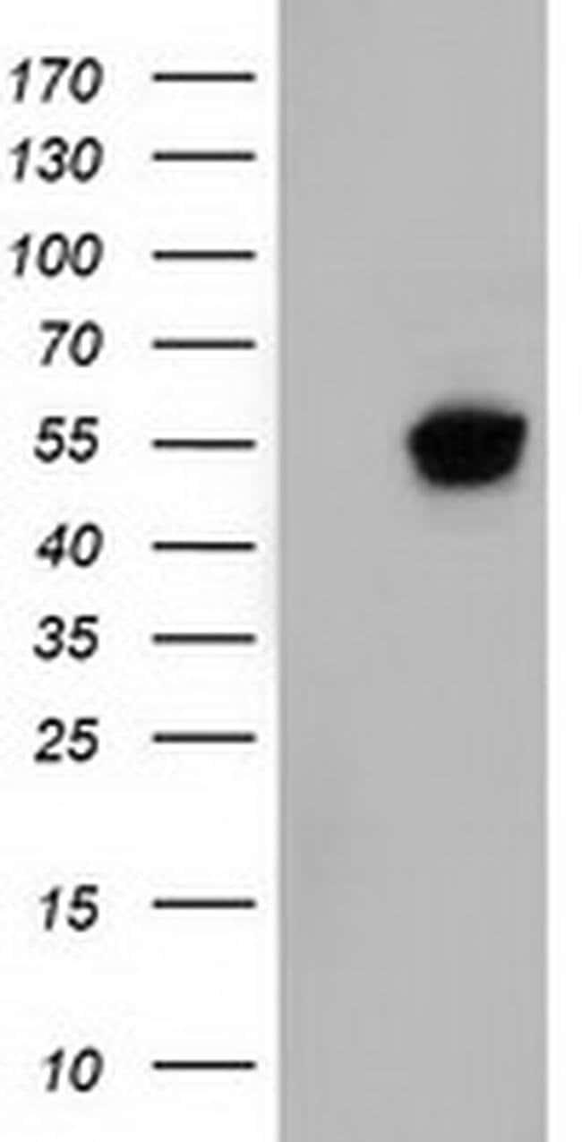 NT5DC1 Mouse anti-Canine, Human, Clone: OTI2H8, liquid, TrueMAB  100 µL;