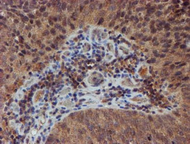 NUBPL Mouse anti-Human, Clone: OTI5D5, liquid, TrueMAB  100 µL; Unconjugated