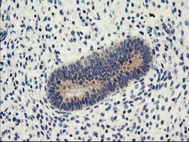 NUCB1 Mouse anti-Human, Clone: OTI1A5, liquid, TrueMAB  30 µL; Unconjugated