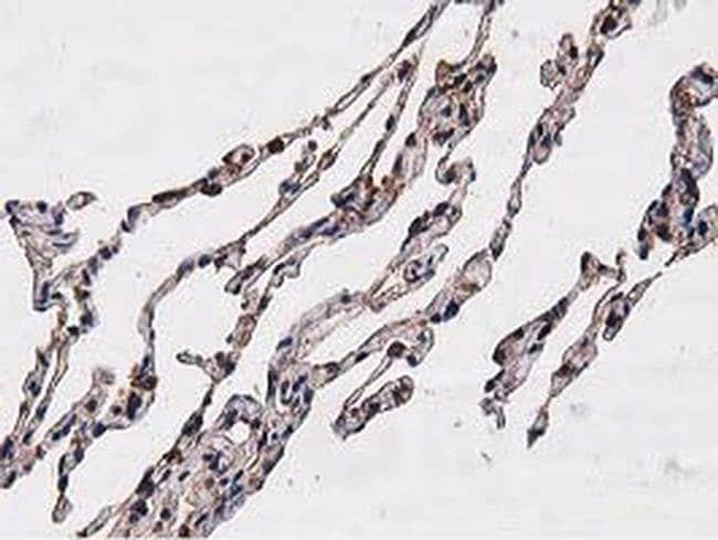 NUDT6 Mouse anti-Human, Clone: OTI9D12, liquid, TrueMAB  100 µL; Unconjugated