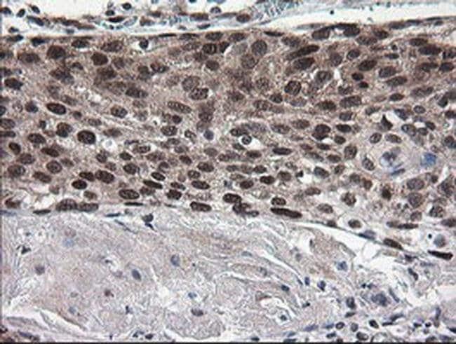 NUMB Mouse anti-Human, Clone: OTI4F3, liquid, TrueMAB  100 µL; Unconjugated