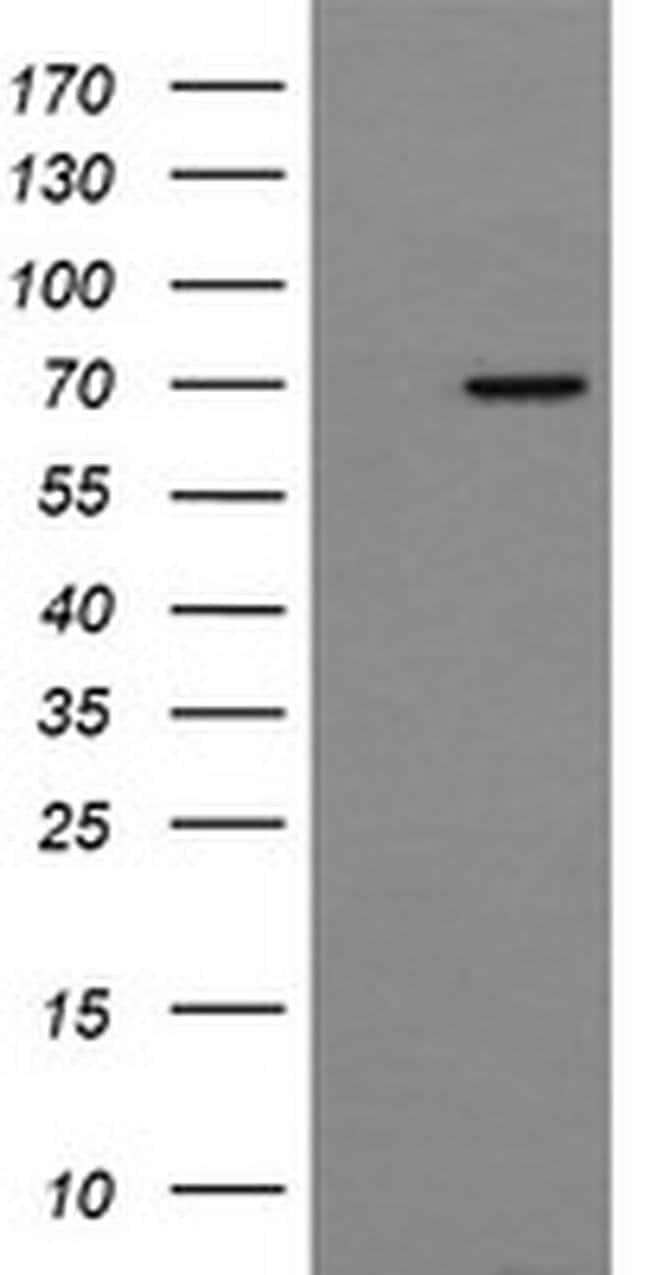NUMB Mouse anti-Human, Clone: OTI5A9, liquid, TrueMAB  30 µL; Unconjugated