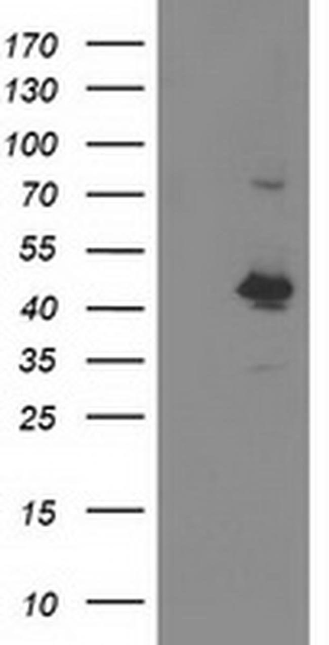 OBFC1 Mouse anti-Human, Clone: OTI2E4, liquid, TrueMAB  100 µL; Unconjugated