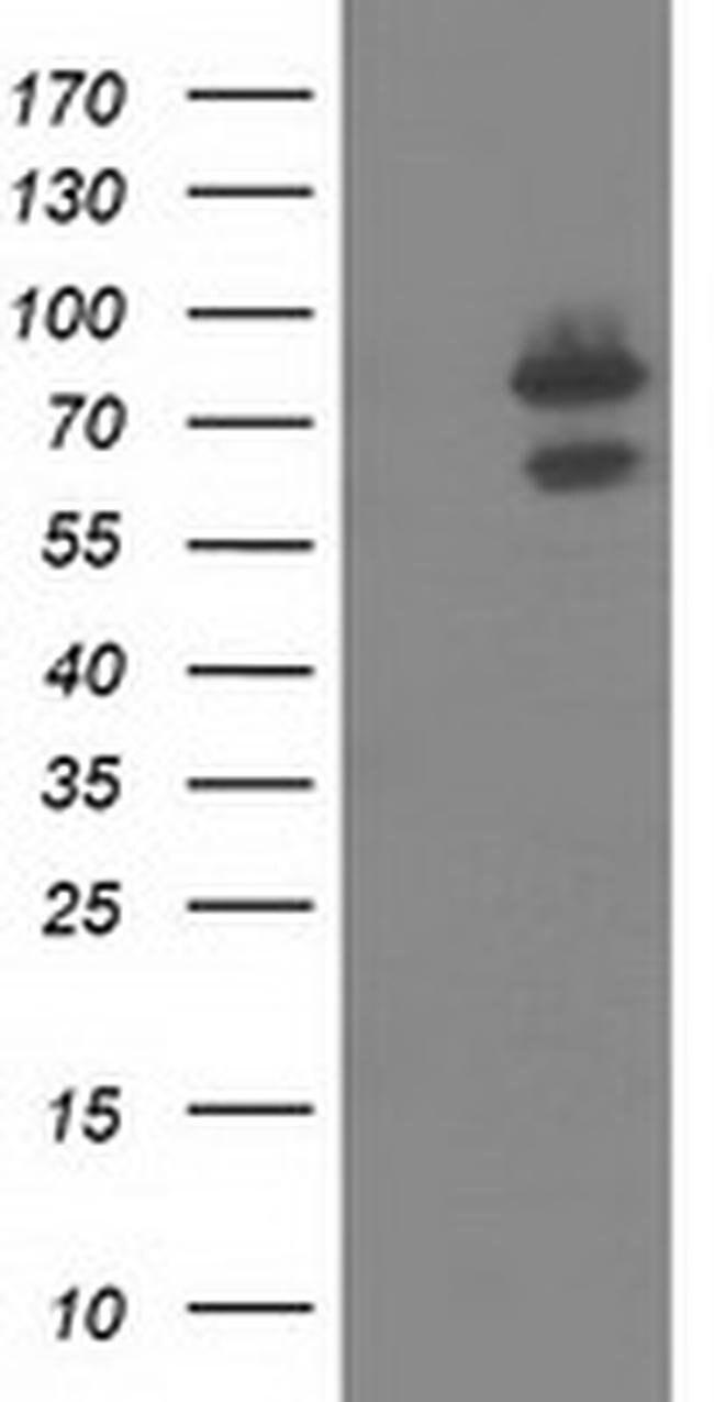 OSBPL11 Mouse anti-Canine, Human, Clone: OTI6H9, liquid, TrueMAB  100 µL;