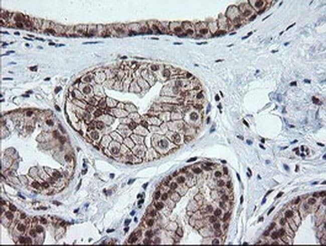OTUB1 Mouse anti-Human, Clone: OTI2H1, liquid, TrueMAB  100 µL; Unconjugated