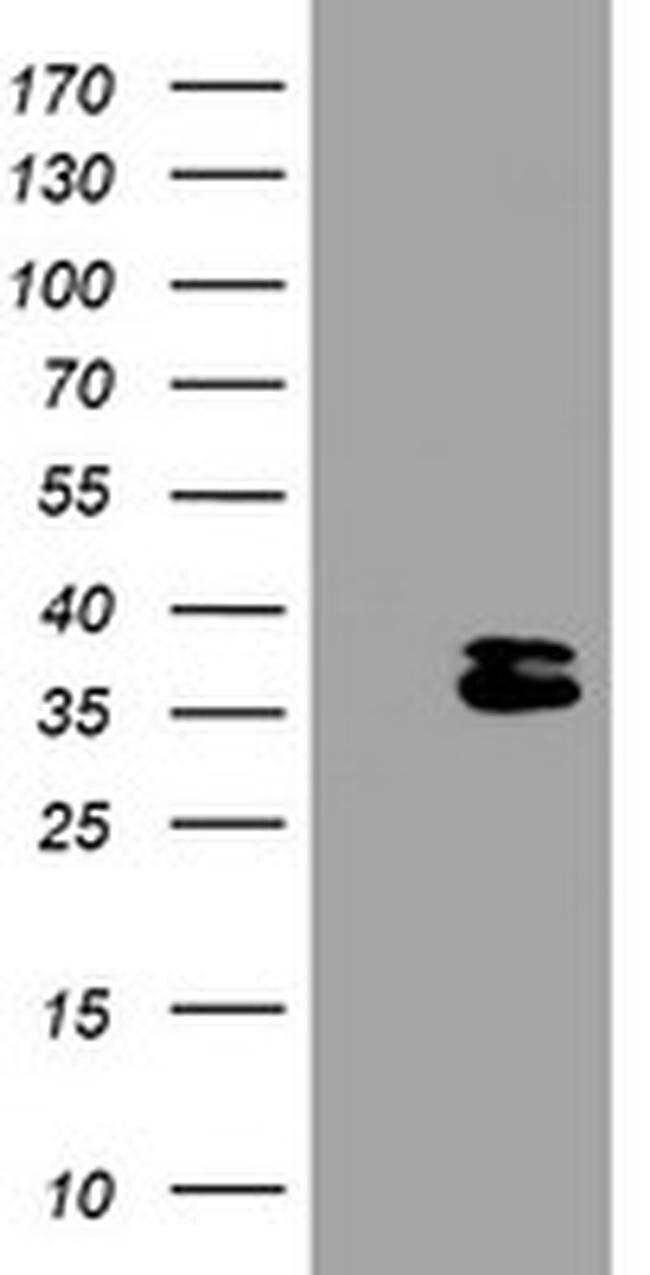 OTUB1 Mouse anti-Human, Clone: OTI1A6, liquid, TrueMAB  100 µL; Unconjugated