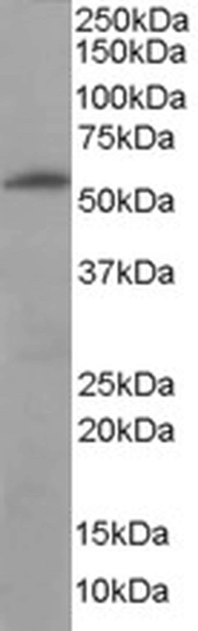 Golgi protein 58k Goat anti-Human, Polyclonal, Invitrogen 100 µg;