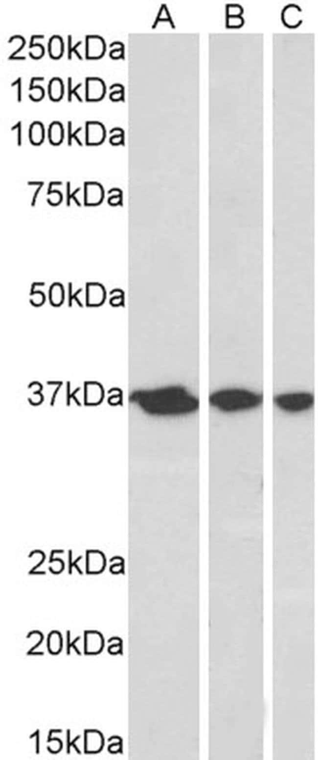 APE1 Goat anti-Human, Polyclonal, Invitrogen 100 μg; Unconjugated:Antibodies