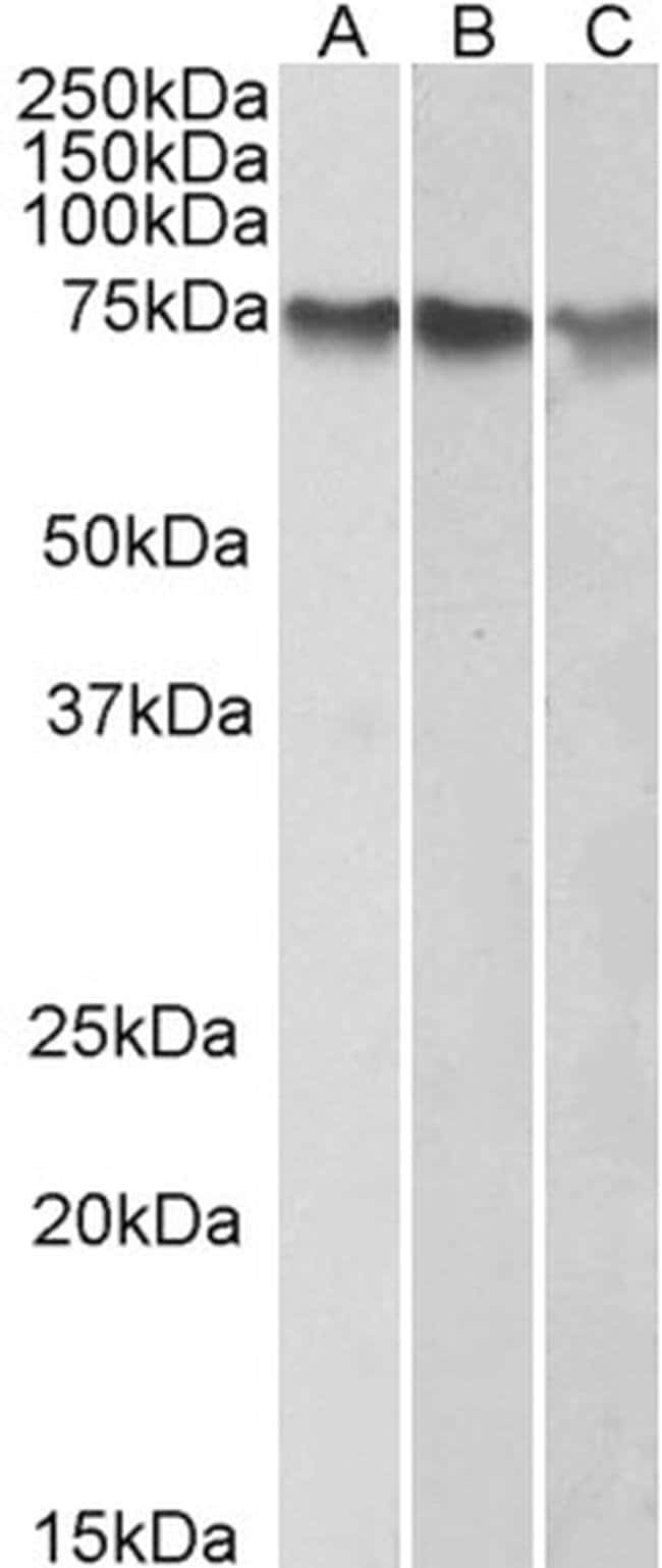 ATF2 Goat anti-Human, Polyclonal, Invitrogen 100 μg; Unconjugated:Antibodies