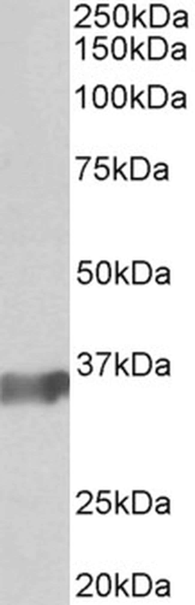 BOB-1 Goat anti-Human, Mouse, Rat, Polyclonal, Invitrogen 100 µg;