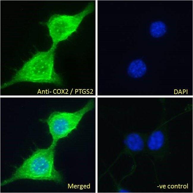 COX2 Goat anti-Human, Mouse, Polyclonal, Invitrogen 100 μg; Unconjugated:Antibodies