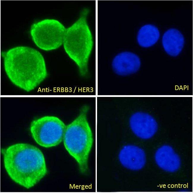 ErbB3 Goat anti-Human, Polyclonal, Invitrogen 100 μg; Unconjugated:Antibodies