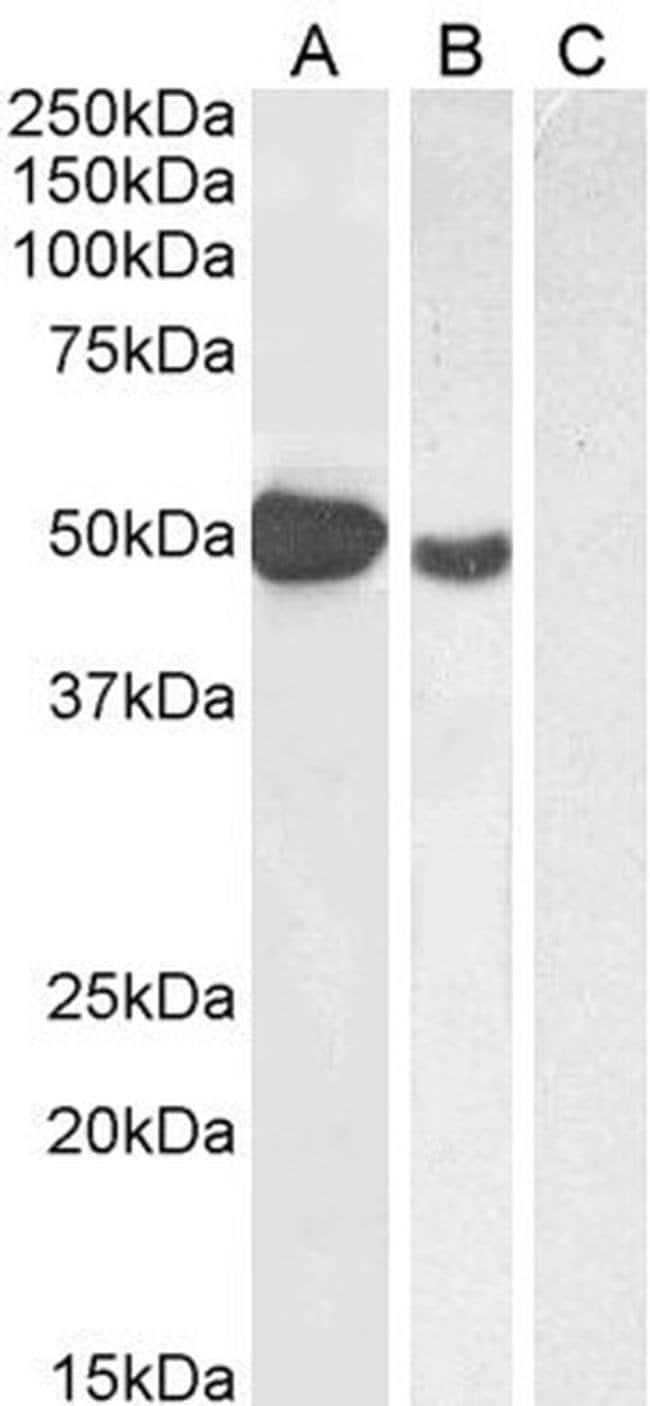 FOXP3 Goat anti-Human, Polyclonal, Invitrogen 100 μg; Unconjugated:Antibodies