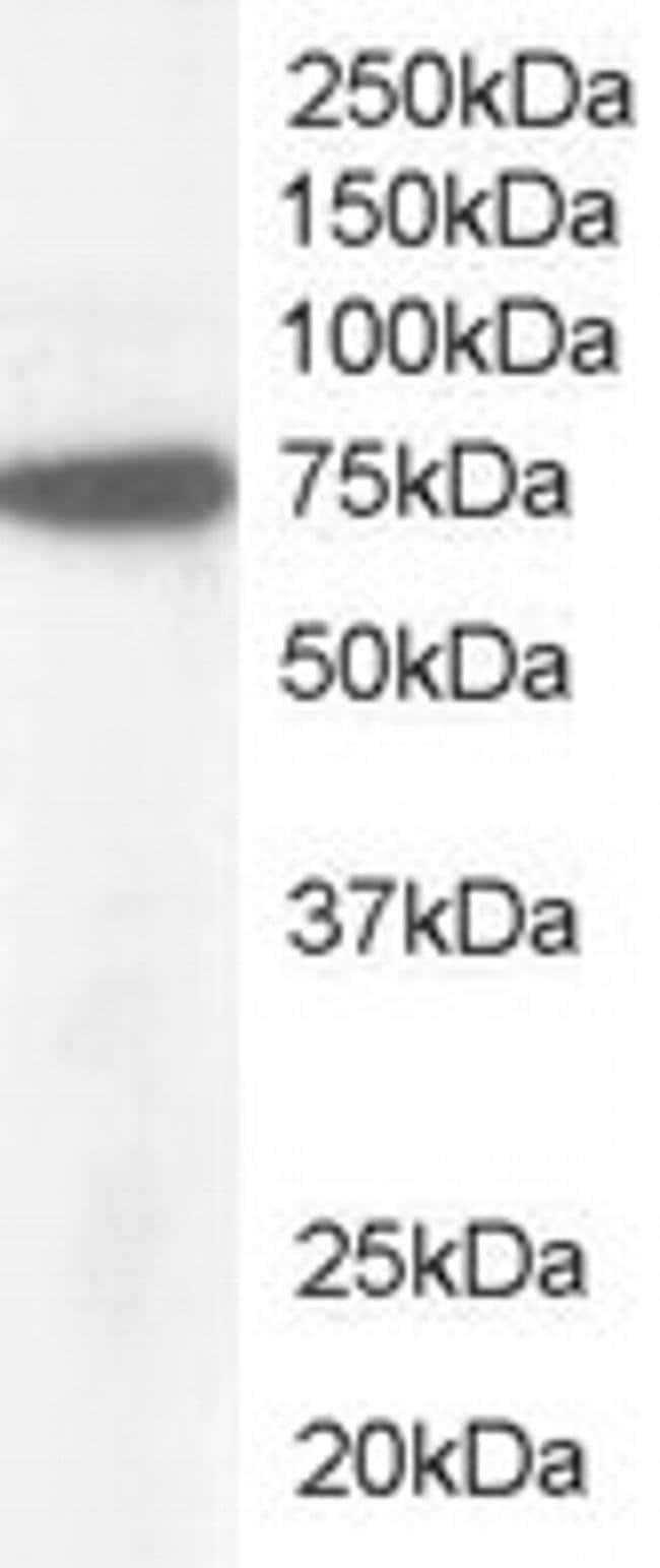 NUP85 Goat anti-Human, Polyclonal, Invitrogen 100 μg; Unconjugated:Antibodies
