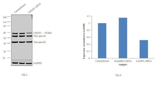 LMAN1 Rabbit anti-Human, Mouse, Rat, Polyclonal, Invitrogen 100 µg;