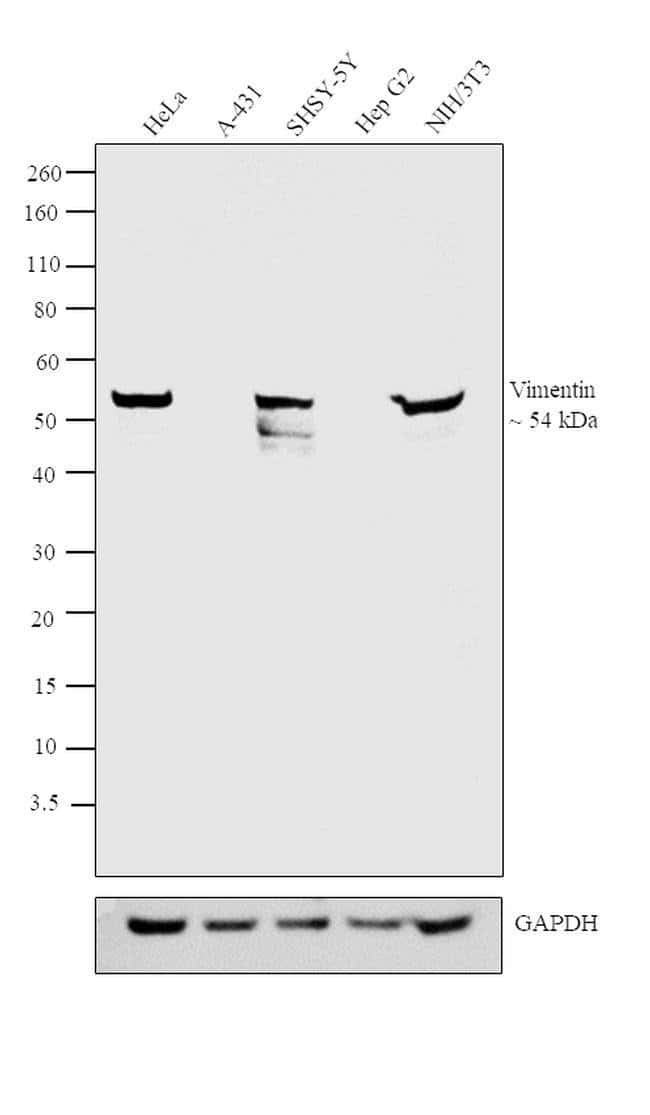 Vimentin Chicken anti-Bovine, Chicken, Equine, Human, Mouse, Porcine, Rat, Polyclonal, Invitrogen™