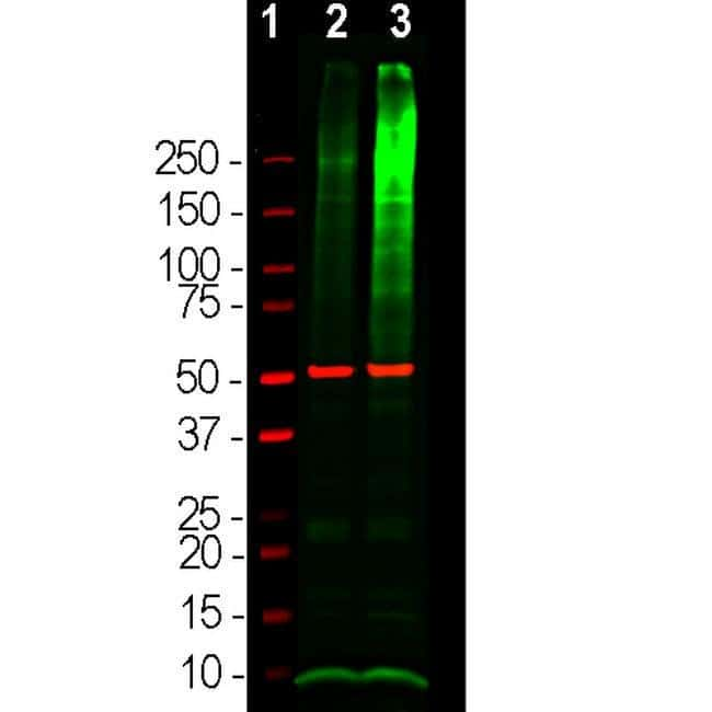 Ubiquitin Rabbit anti-Human, Mouse, Rat, Polyclonal, Invitrogen 100 μL;
