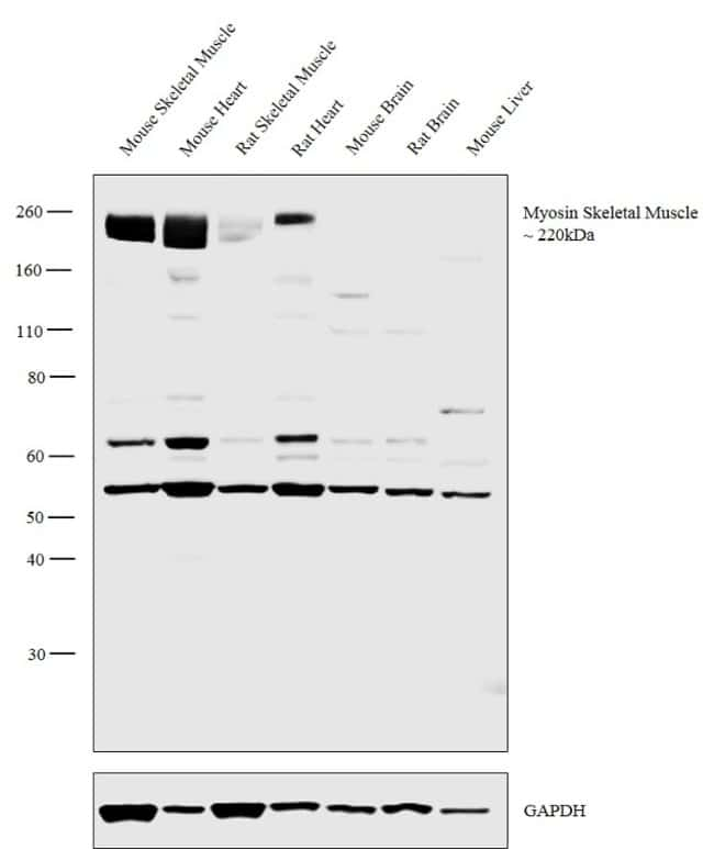 Myosin Skeletal Muscle Rabbit anti-Human, Mouse, Rat, Polyclonal, Invitrogen