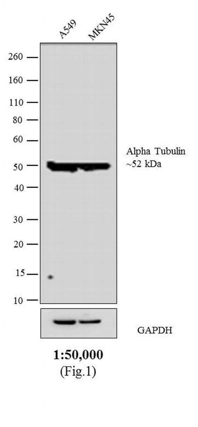 IgG (H+L) Sheep anti-Rat, Biotin, Invitrogen 1 mg; Biotin:Life Sciences