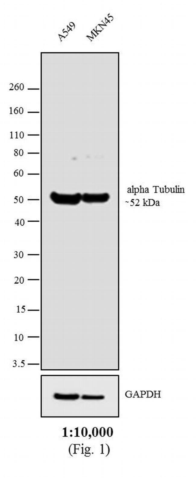IgG Fc F(abft.)2-Goat anti-Rat, Biotin, Invitrogen 250 µg; Biotin:Life