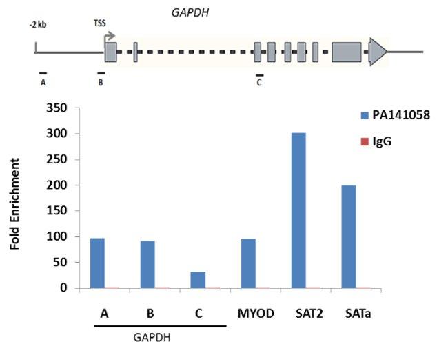 Histone H2B Rabbit anti-Canine, Chicken, Drosophila, Human, Mouse, Rat,