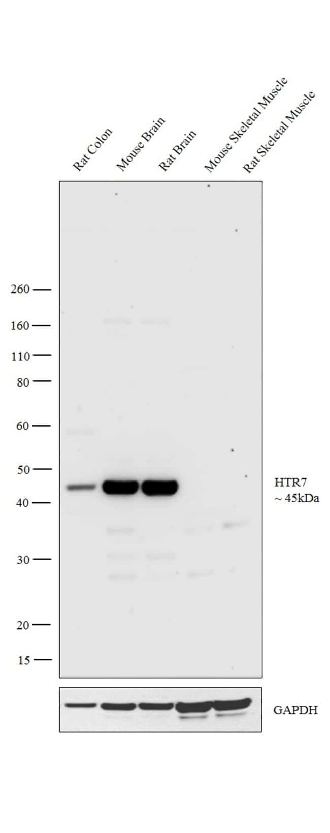 HTR7 Rabbit anti-Canine, Human, Mouse, Rat, Polyclonal, Invitrogen 100