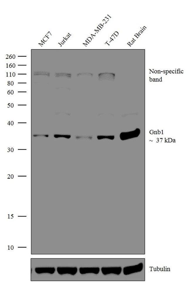 Gnb1 Rabbit anti-Bovine, Drosophila, Human, Mouse, Ovine, Rat, Polyclonal,