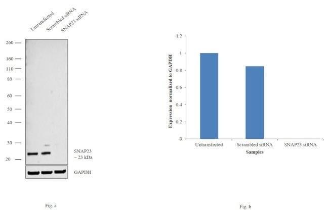 SNAP23 Rabbit anti-Human, Mouse, Rat, Polyclonal, Invitrogen 100 µg;
