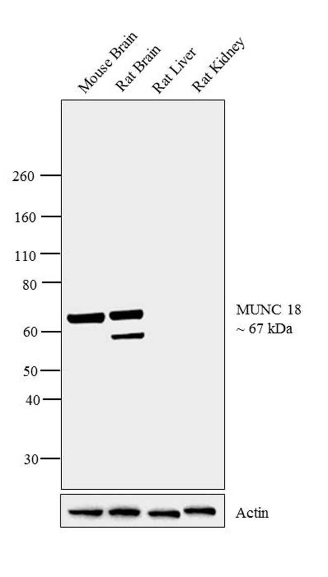 MUNC18 Rabbit anti-Human, Mouse, Rat, Polyclonal, Invitrogen 100 µg;