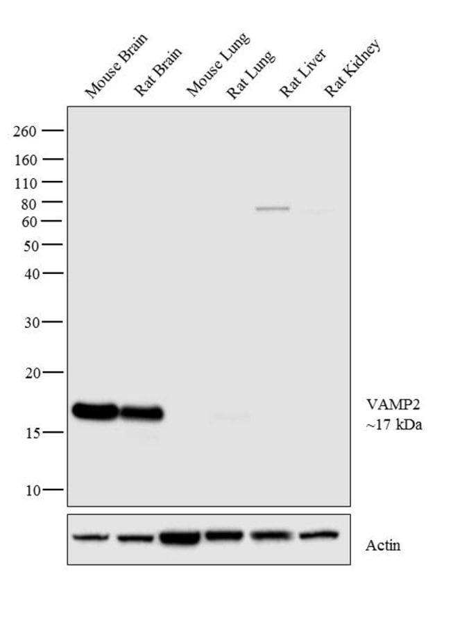 VAMP2 Rabbit anti-Mouse, Rat, Polyclonal, Invitrogen 100 µg; Unconjugated