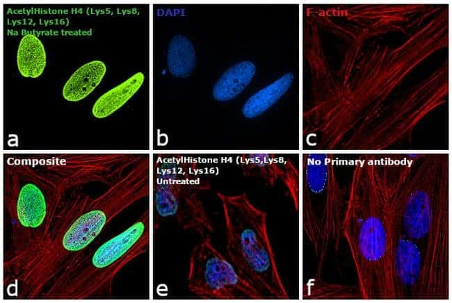 Acetyl-Histone H4 (Lys5, Lys8, Lys12, Lys16) Rabbit anti-All, Polyclonal,