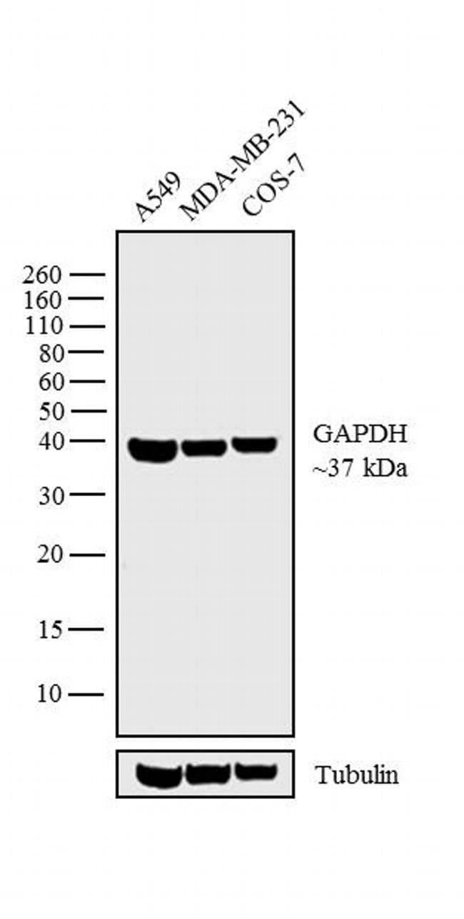 GAPDH Goat anti-Human, Mouse, Rat, Polyclonal, Invitrogen 100 µg;