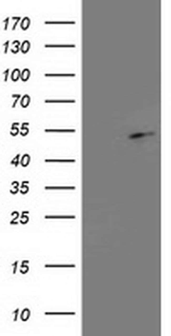 PA2G4 Mouse anti-Human, Clone: OTI1D3, liquid, TrueMAB  100 µL; Unconjugated