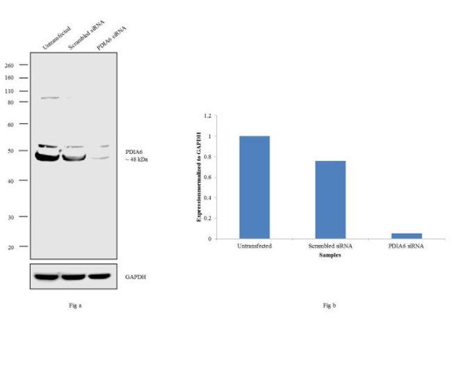 PDIA6 Rabbit anti-Human, Polyclonal, Invitrogen 100 µL; Unconjugated