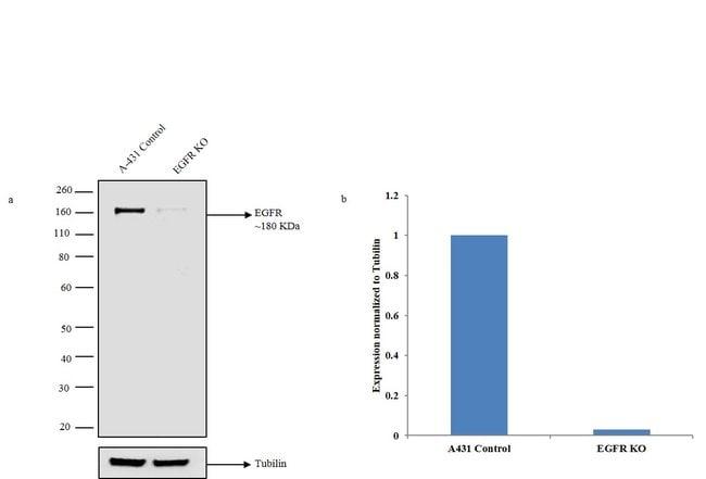 EGFR Rabbit anti-Human, Polyclonal, Invitrogen 400 µL; Unconjugated