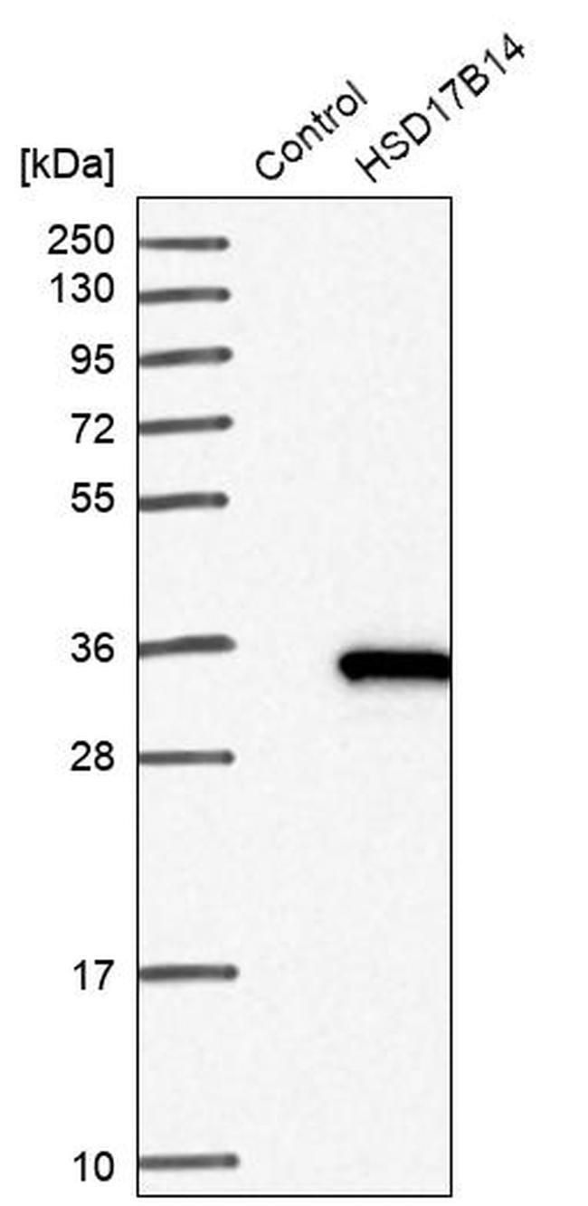 HSD17B14 Rabbit anti-Human, Polyclonal, Invitrogen™ 100 μL; Unconjugated Primary Antibodies Hs to Hz