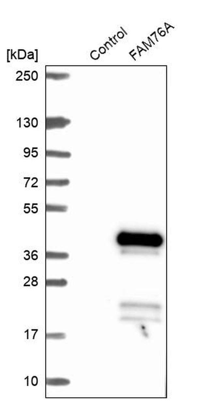 FAM76A Rabbit anti-Human, Polyclonal, Invitrogen 100 µL; Unconjugated