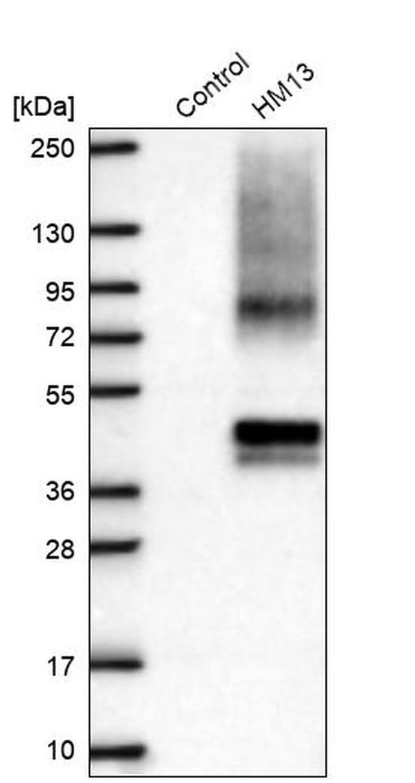 HM13 Rabbit anti-Human, Polyclonal, Invitrogen 100 µL; Unconjugated