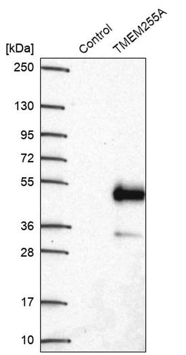 TMEM255A Rabbit anti-Human, Polyclonal, Invitrogen™ 100 μL; Unconjugated Primary Antibodies Ti to To